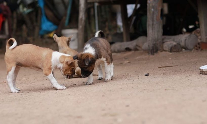 My cute puppies at hometown - Dogs is my lovely pets ever