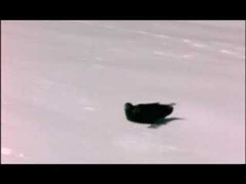 NATURE | Ravens | Ravens Playing in Snow | PBS