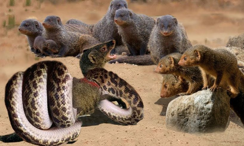 Porcupine vs Mongoose vs Snake - Most Amazing Moments Of Wild Animal Fights! #10