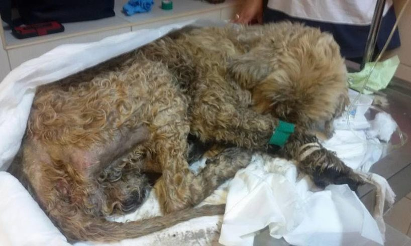 Rescue Hurt Dog Skin & Bones, Powerless, Smeel of infection, Many Worms   Happy Ending