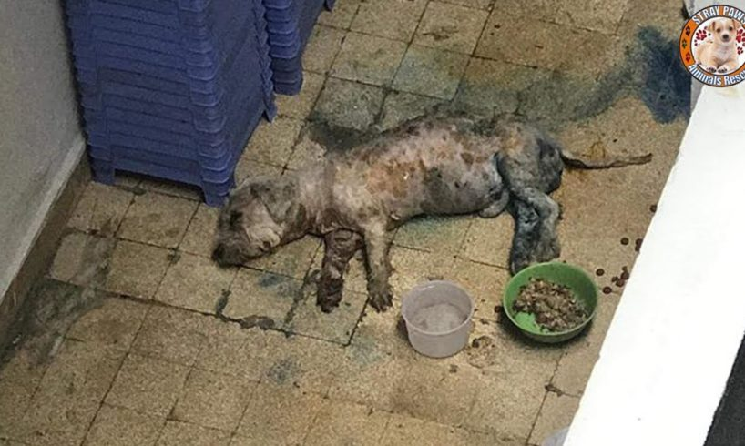Rescue Poor Dog With Liver Failure, Kidney Failure & Body Is Rotten