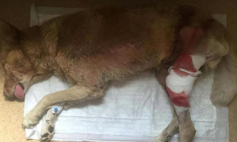 Rescue Poor old Dog was Abandoned Because TUMOR Sick   Amazing Transformation