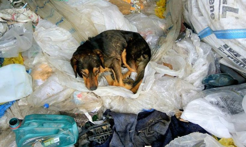 Rescue sick dog, hit by a car living in garbage dumped - Happy Ending