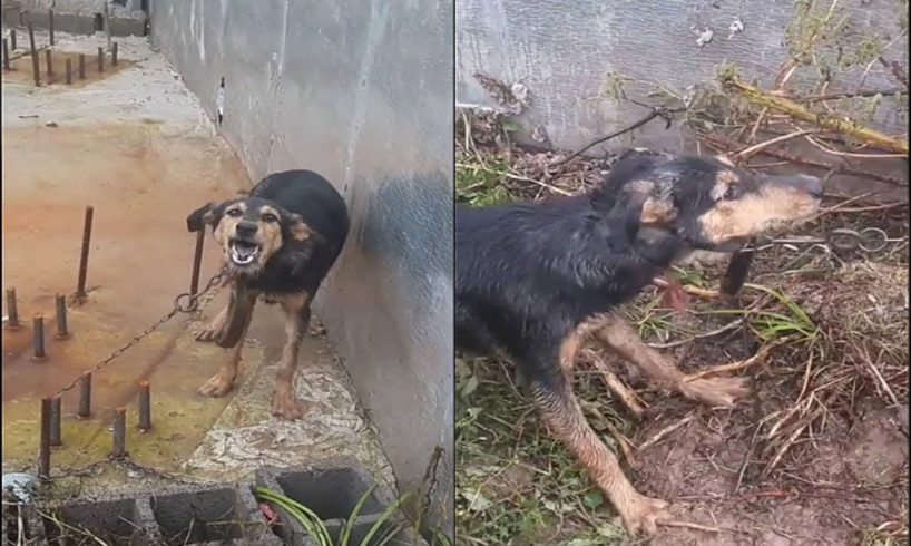 Rescued Poor Wandering Dog, Leash Trapped in iron Nails of Foundation of house