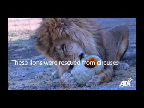 Rescued lions having fun with pumpkins on Halloween