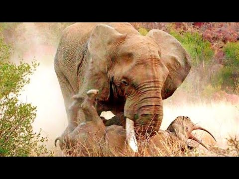 Rhino vs Bull Elephant Amazing Animals fights