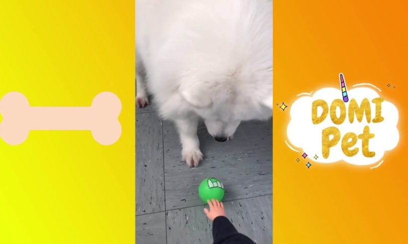 The Funniest and Cutest Samoye Dogs And Puppies Compilation #7
