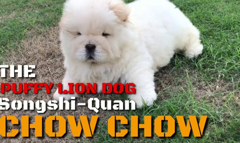 The Puffy Lion Dog Songshi Quan (Chinese Breed) Chow Chow Cute Puppies Video Compilation. Cream Coat