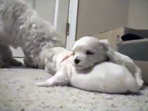 The birth of the dog | cute puppies | 2 week old for sleeping and nursing