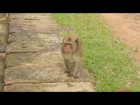 This Is Sok Monkey | The Animal TV #1