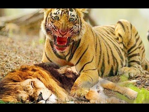 Tiger vs Lion Tiger Attack! BEST Tiger Hunting Attack Fight Lion Elephant Crocodile Leopard