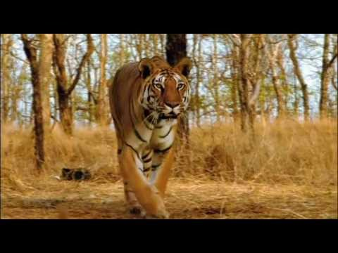 Ultimate Family of Big Cats Lion Tiger Cheetah Jaguar (HD) EPIC Fight to Save-Himanshu Singh Gurjar