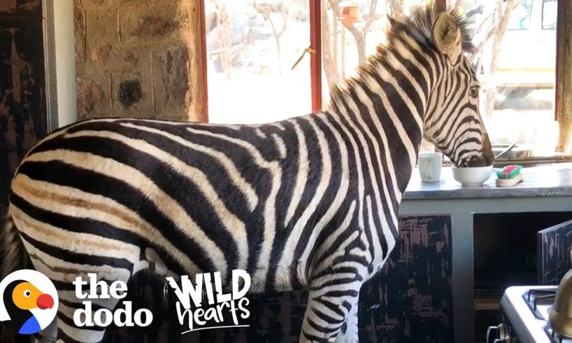 Watch This Rescued Zebra Break into His Mom's House | The Dodo Wild Hearts