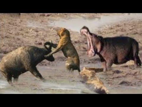 Wild African Animals Fight Back