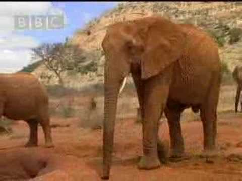 Wild African elephant with attitute - BBC wildlife