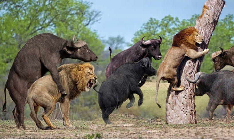 Wild Animal Fights 2019 | Lion vs Buffalo, Jaguar vs Crocodile, Lion, Giraffe, Kudu - #DTV