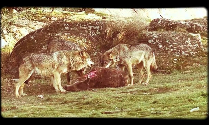 Wild Animal Fights Documentary - Fighting For Life System - Full length Document
