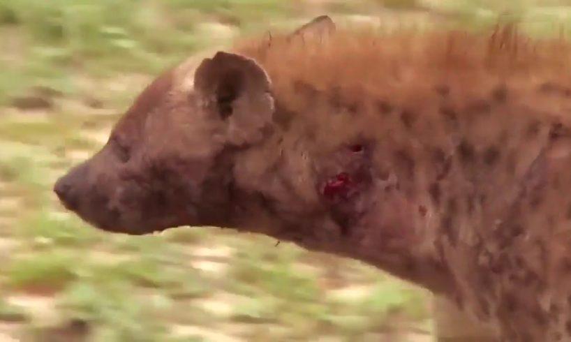 Wild Animals Fighting -  Wild Dogs Kill A Impala  - Hyenas Then Steal It   Hyena Attack Wild Dogs