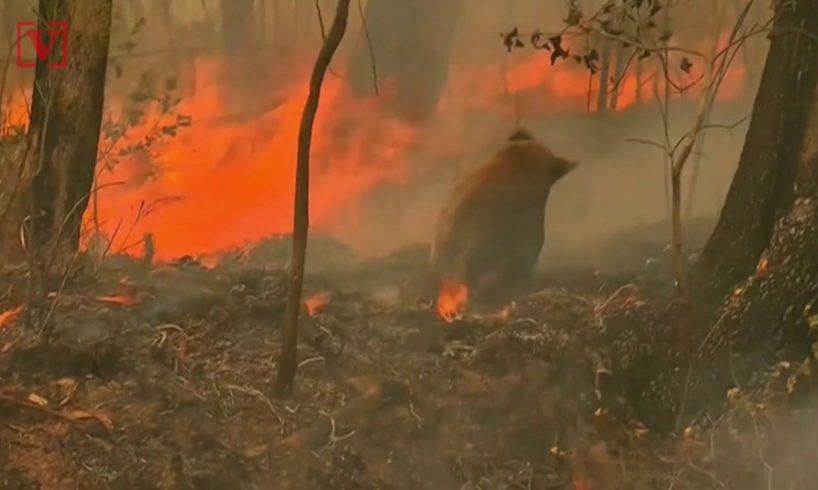 Woman Risks Her Own Safety to Rescue Burnt Koala from Australian Bushfire