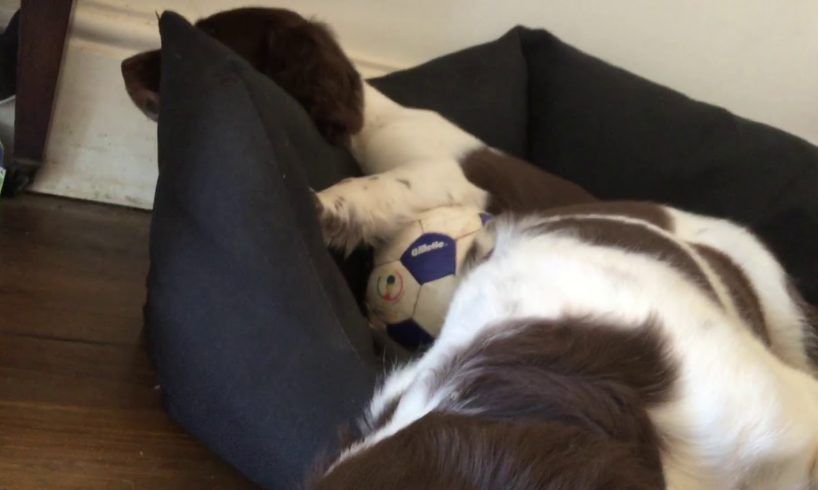 cute puppies sleeping