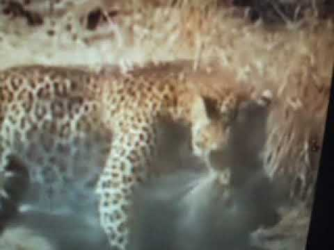 en savoir plus sur les combats d'animaux(learn about animal fights)