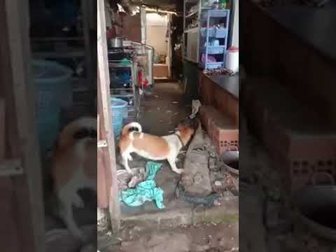 funny dog and rat fight