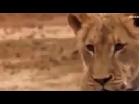 leopard vs lioness fight, animal fights