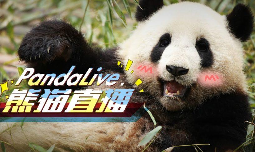 Panda Live 24/7