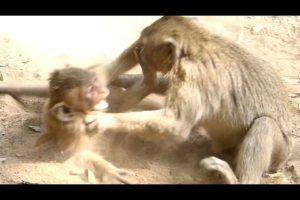 Baby Polino Monkey Angry Jessie Mistreat | Polino Follow Slapping Jessie | Baby Monkeys Post