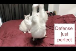 CATCH ME IF YOU CAN!! INTELLIGENT CAT PLAYS A GREAT ROLE【Ragdoll cats】【adorable cute animals】