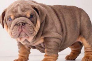 ENGLISH BULLDOG PUPPIES| Funny and cute English bulldog puppies Compilation # 07|2020| Animal Lovers