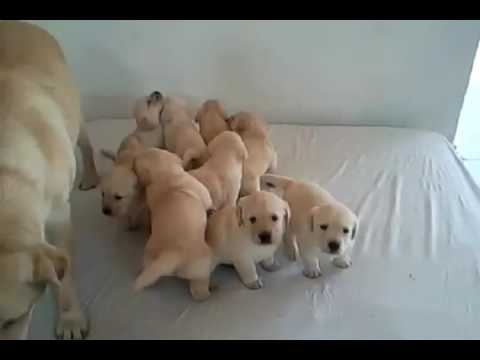 9 very cute Labrador Puppies with their mother!