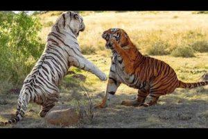 Ataques e Lutas de Animais - Animal Fights