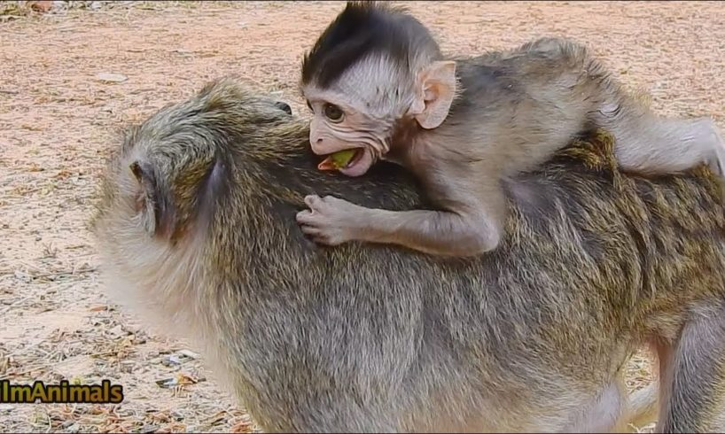 Awesome!! Much Adorable & Clever Baby Monkey Play With Mom. #filmAnimals