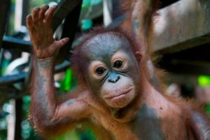 Baby Orangutan Learns To Climb After Being Shot