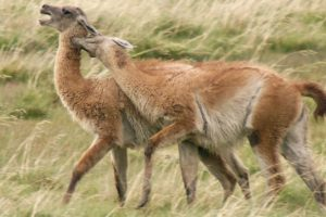 Brutal Guanaco fight for dominance   Wild Patagonia   BBC Earth