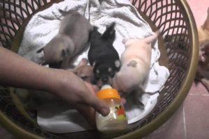 Cute Puppies - Saigon Vietnam