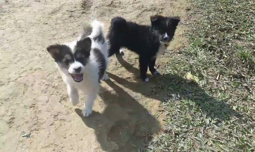 Cute puppies playing around😍