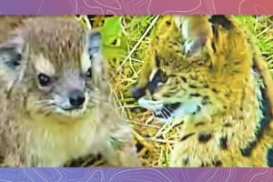 Dancing with Servals | Serval Cat Plays With Rock Hyrax