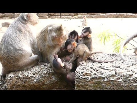 Dustin Fall Down Crying till Mother Catch   Baby Monkey Playing   Baby Monkeys Post
