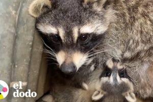 El instinto de una mapache salva a sus bebés | El Dodo