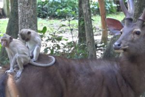 How Animals Make Friends - Monkeys Playing On The Deers' Back