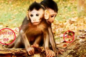 LOVELY Baby monkey play | how adorable baby monkey active playing | 4ever Monkey #209