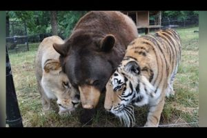 Lion, Tiger, And Bear Become Lifelong Friends After Being Rescued As Cubs