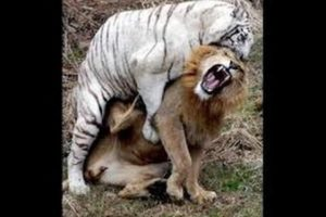 Lion Vs Tiger Real Fight In Jungle - Animals Fight