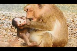 Mom & Baby Monkey Play Very Warm | Baby Monkey Love Mom So Much | Mom Monkey Best Taking Care Baby