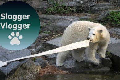 Polar Bear Cub Hertha Loves Playing With The Hose