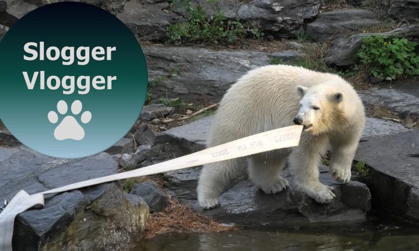 Polar Bear Cub Hertha Loves Playing With The Hose