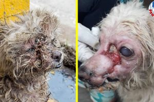 Rescue Homeless Dog With Large Wounds in His Face And Full of Maggots