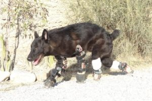 Rescue Poor Dog Must AMPUTE 4 EXTREMITIES with ORTHOSES